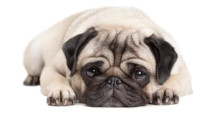 Pug dog breed image