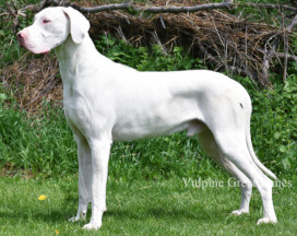 White Great Dane image