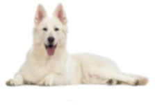 White Swiss Shepherd dog breed image